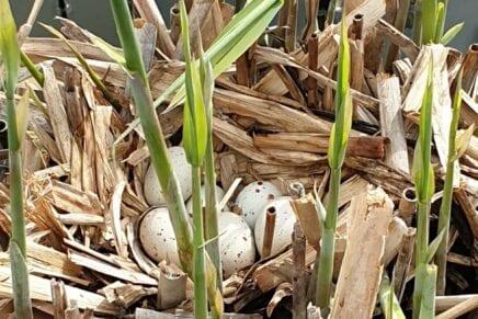 Meerkoet eieren en kikkerdril !